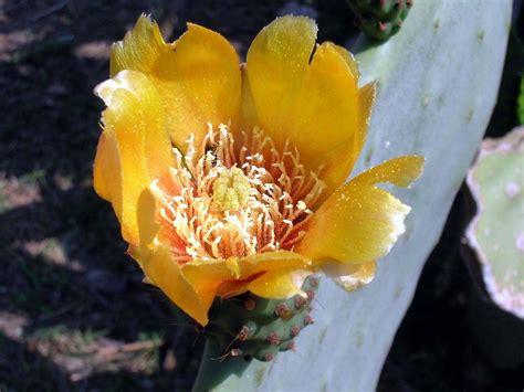 fiori fico fiore di fico d india foto immagini piante fiori e