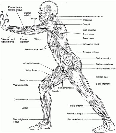 anatomy and physiology coloring book key anatomy and physiology coloring pages free coloring home
