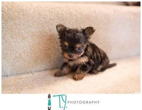 chiwawa yorkie puppies chihuahua and yorkie puppies breeds picture