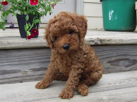 mini doodle wisconsin miniature goldendoodles for sale in wisconsin