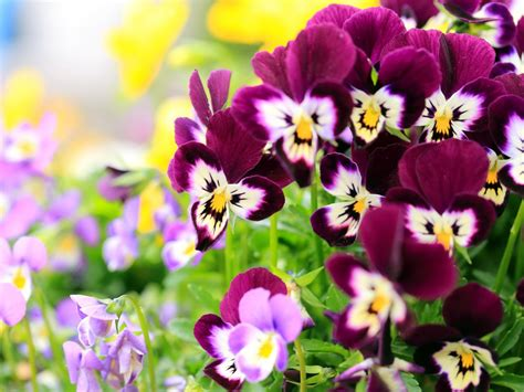 fiori wallpaper pansy flowers wallpapers hd pictures one hd wallpaper