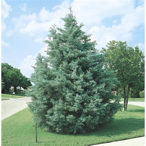 shop 2 5 quart arizona cypress screening tree l5089 at