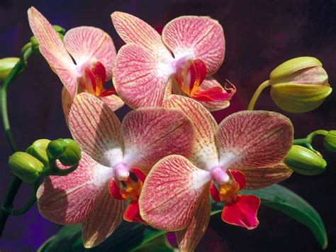 getting orchids to bloom garden guides