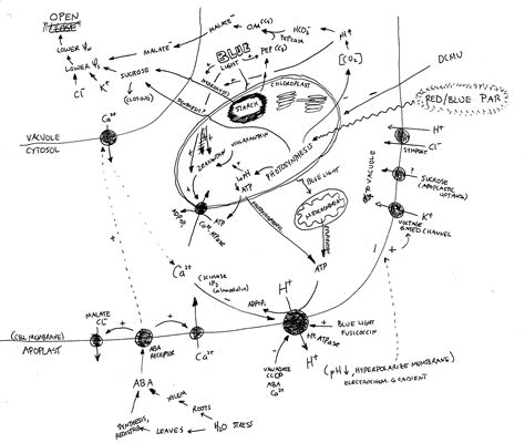 stomata diagram stomata related keywords suggestions stomata