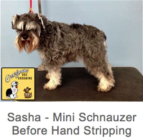 stripping schnauzer puppy cut dog grooming photos georjeans dog grooming