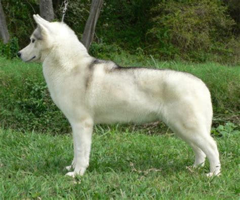 How Often Do Huskies Shed by Grey And White White Chocolate Piebald Puppy Black And