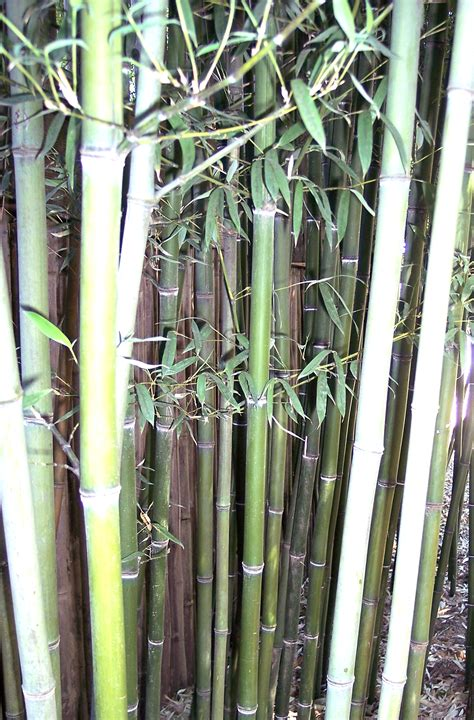 types of bamboo plants bamboo plants hq