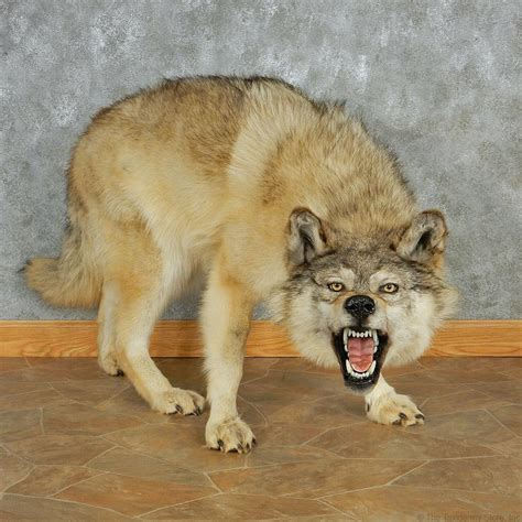 wolf for sale gray wolf taxidermy mount 13019 the taxidermy store