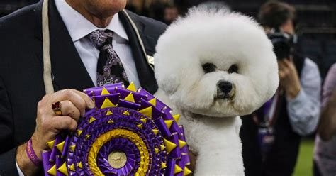 westminster show 2018 the 2018 westminster show