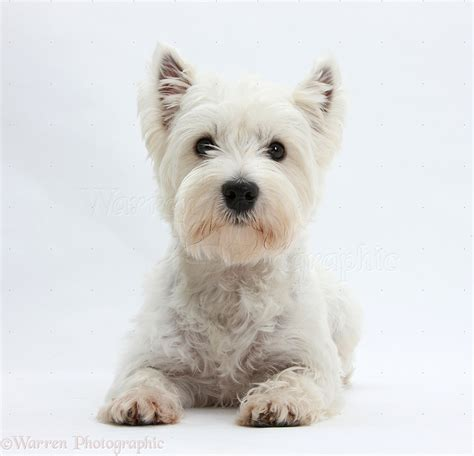 Dog: Westie lying with head up photo - WP20784