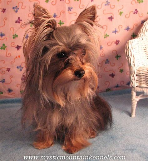 yorkie puppies knoxville tn 26 best yorkie puppies terrier images on