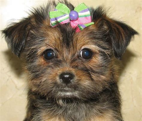 shorkie puppies for sale in michigan shorkie puppies for sale maltipoo for sale and puppies for sale on