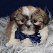 shih tzu puppies for sale in ri shih tzu puppies for sale in pa shih tzu puppy adoptions