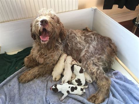 spinone italiano puppies for sale italian spinone puppies for sale breeds picture