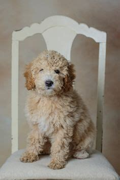 amish country puppies for sale mini goldendoodle puppy for sale in pennsylvania amish country where puppies are a