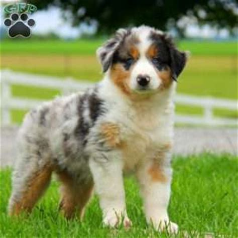 australian shepherd puppies for sale in pa australian shepherd puppies for sale in pa