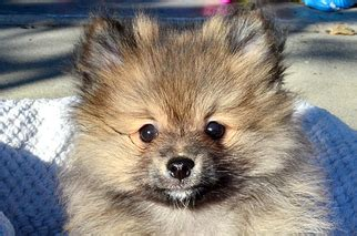 micro pomeranian for sale philippines view ad pomeranian puppy for sale california west sacramento usa