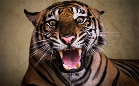 angry tigers images wallpaper