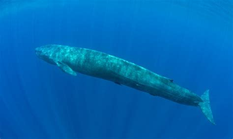 Who Sings For Blues How Blue Whales Became Ingredients In - listen to blue whales calling to each other daily mail