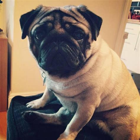 pugs for sale in brighton pedigree pug for stud brighton east sussex pets4homes