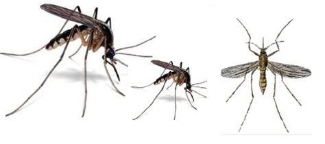 how to get rid of mosquitoes naturally home remedies to get rid of mosquitoes pocket