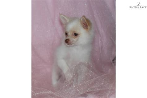 chion yorkies for sale teacup brown nose breeds picture