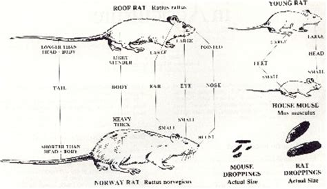 Common Backyard Rodents Rat And Mouse Identification Walter Reeves The