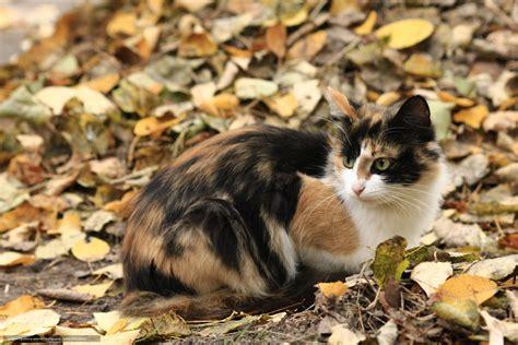 Wallpaper Chat Automne | tlcharger fond d ecran chat tricolore automne feuillage