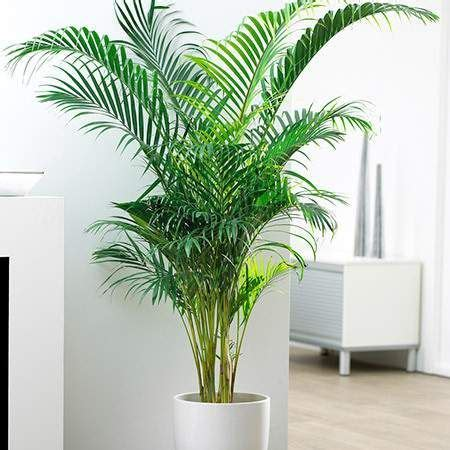 palms throughout the world 1876334517 25 best ideas about indoor tree plants on indoor trees best home air purifier and