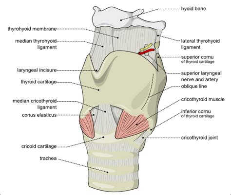 pharynx diagram singwise singwise singing with an open throat vocal