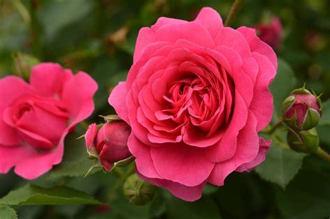 beautiful plants most beautiful rose flower pictures www pixshark com