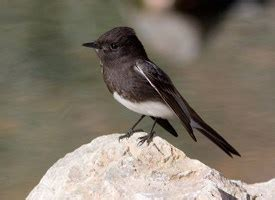 black phoebe life history all about birds cornell lab