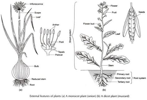diagram of monocot seed image gallery monocotyledon diagram
