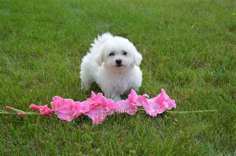 bichon frise puppies for sale in pa puppies for sale bichon frises bichons in denver pennsylvania breeds picture