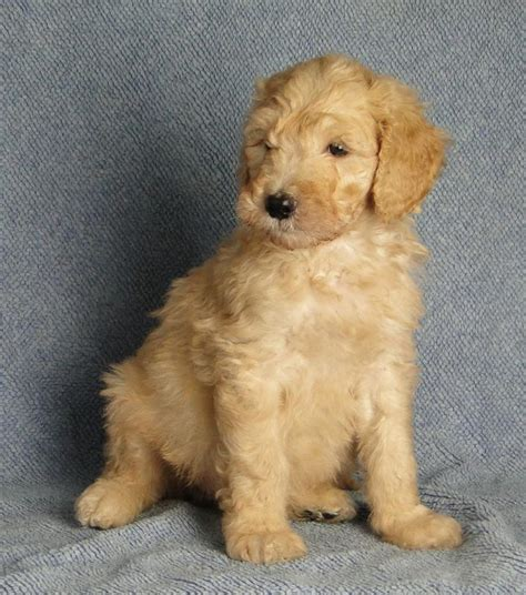 Breeders Find The Goldendoodle Puppy At