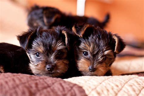 teacup yorkies for adoption in ohio dogs ohio free classified ads