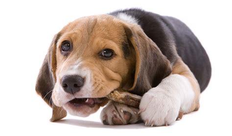 best bones for puppies 2016 best bones for dogs to chew ultimate top 5 list top tips
