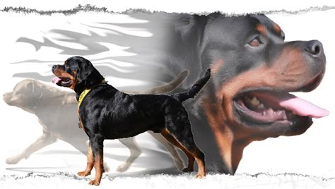 rottweiler breeders in md rottweiler stud service in maryland rottweiler in maryland for stud