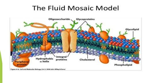 structure  plasma membrane