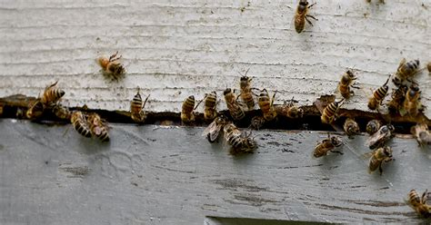honey bees in house siding siding blogs siding windows by tim cahill
