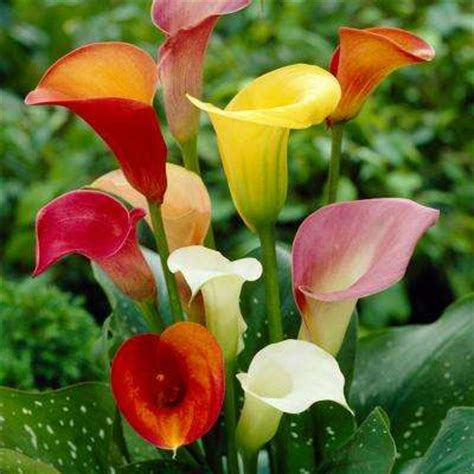 calla lilies colors flower bulbs garden plants flowers the home depot