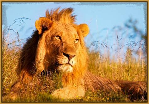 imagenes de leones de juguete ver fotos de leones archivos imagenes de leones
