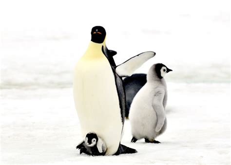 penguin antarctic by laogephoto on deviantart
