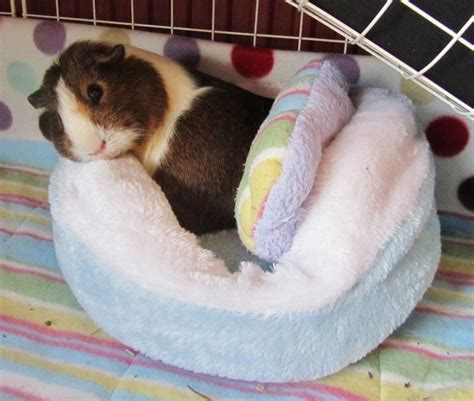 guinea pig bed 675 best images about animales cobayas animals