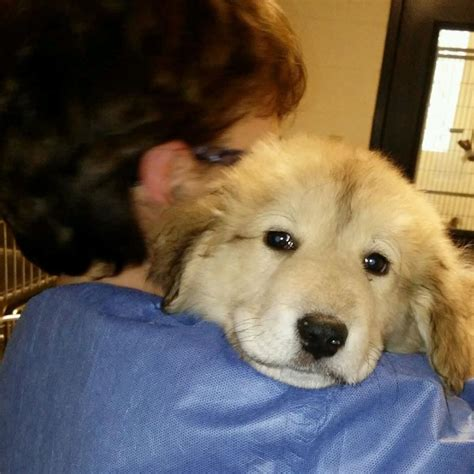 pittsburgh puppies great pyrenees pet tales breeds picture