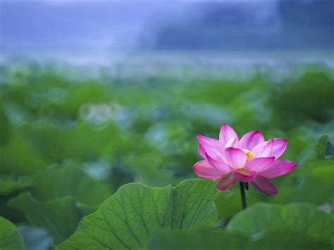 wallpaper lotus flower design lotus flowers wallpapers hd pictures one hd wallpaper