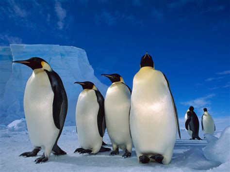 8 Facts On Penguins by Emperor Penguins Emperor Penguin Pictures
