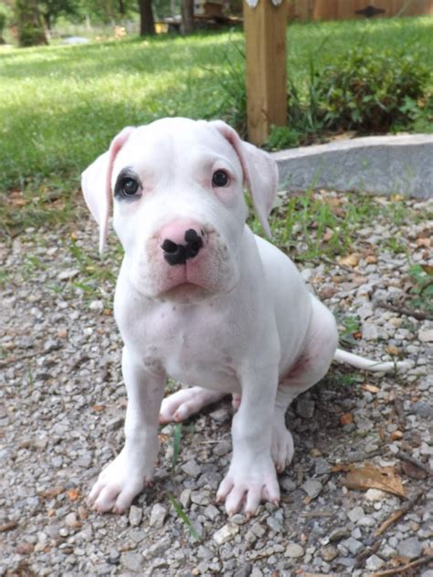 dogo argentino puppy price dogo argentino puppies www imgkid the image kid has it