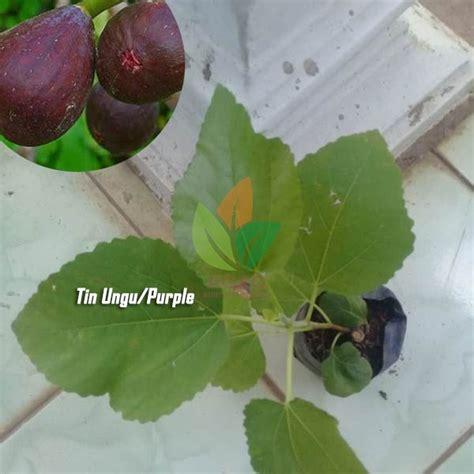Harga Bibit Tin Yordan Ungu jual bibit buah tin purple ungu agro bibit id