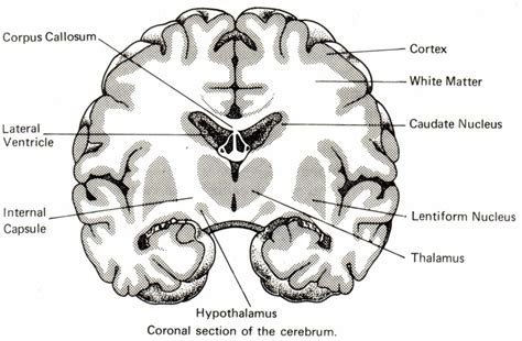 brain coronal section coronal section of brain anatomy images